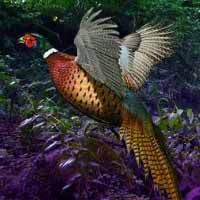 Big Pheasant Forest Escape